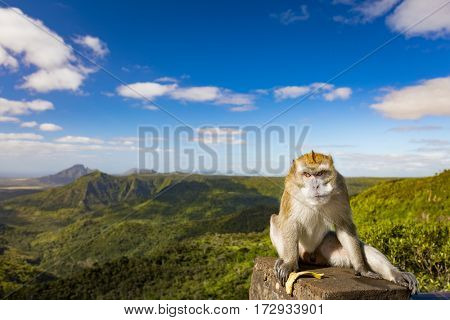 Monkey at the Gorges viewpoint. Black River Gorges national park. Mauritius. Panorama