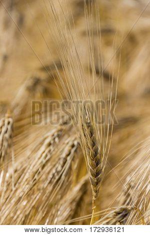 barley field before harvest