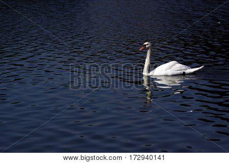 beautiful swan