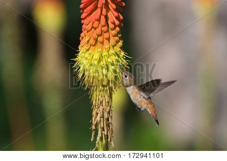 Hummingbird nectaring on red hot poker flower