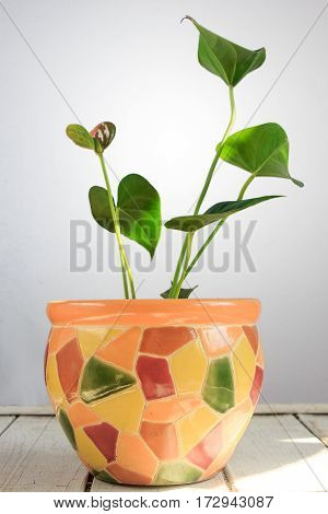 Anthurium Flowering Plant With Beautiful Flowers On A White Wooden Table
