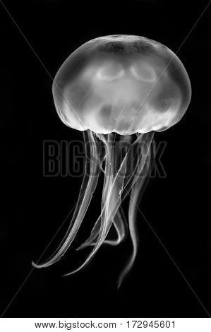 Moon jellyfish (Aurelia aurita) black and white. Medusae swimming in aquarium lighting in the family Ulmaridae poster