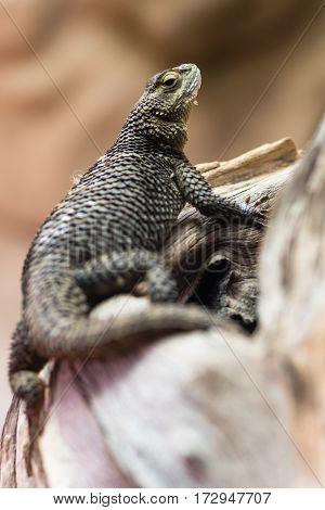 Blue spiny lizard (Sceloporus serrifer cyanogenys). Reptile in family Phrynosomatidae aka fence lizard native to Mexico and southern USA