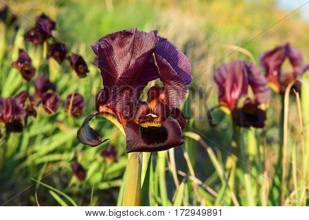 purple irises in a nature reserve on the shores of the Mediterranean Sea, Netanya, Israel