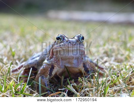 The Common Frog Rana temporaria also known as the European Common Frog