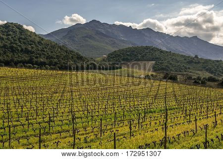 Winter vines bathed in afternoon sun on a hillside in a vineyard near Patrimonio and Saint Florent in the Nebbiu region of Corsica