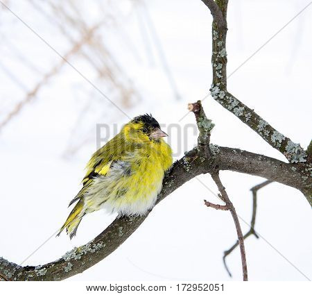 The siskin sits on the branch covered with a lichen