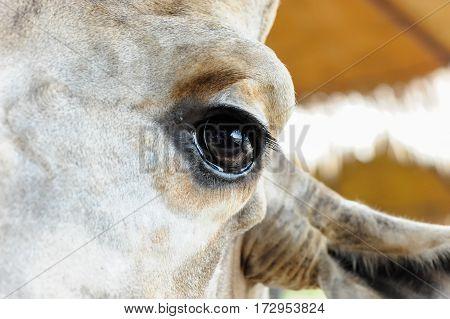 Black Eyes Giraffe closeup visible eyelashes and ear