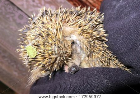 the hedgehog with a leaf on the head sits on a lap