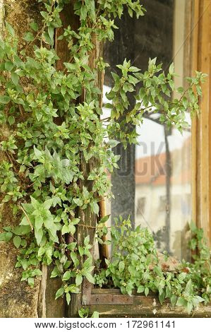 Old wooden window with the lush greenery