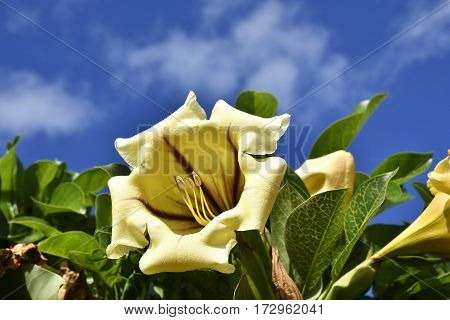 Close-up of yellow Brugmansia flower (Solanaceae family) picture from Tenerife Spain.