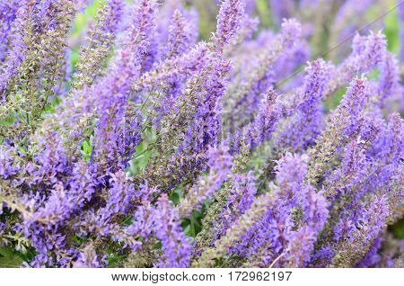 Closeup of salvia flowers bed for background