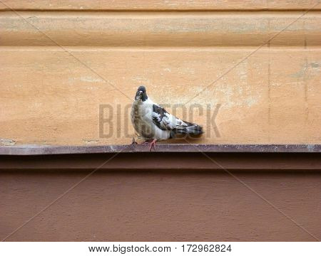 Photo of a motley pigeon sitting on a ledge