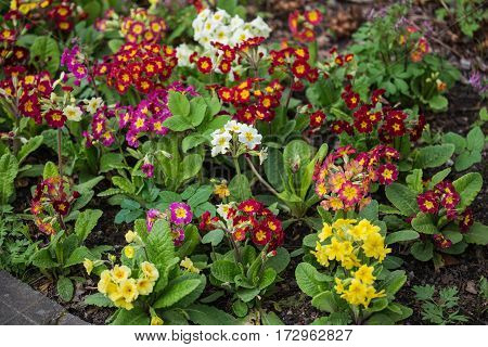 A flower bed of primroses with different colors