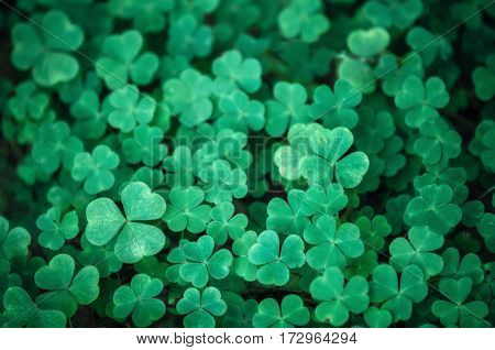 Field of a green clover background. Clovers three leaf. Day of St Patrick concept
