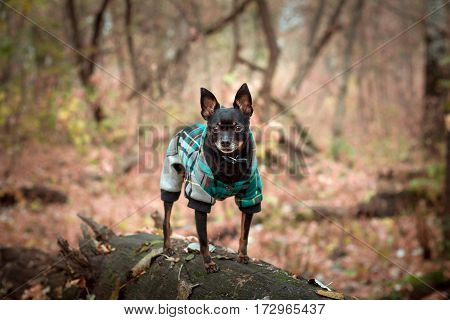 Russian Toy Terrier in clothing on forest background