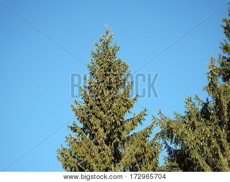 green spruce trees and a number of donuts , spruce and cones