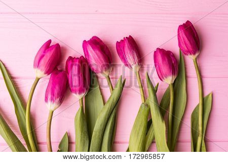 Pink tulips on the pink background. Flat lay, top view. Valentines background. Square