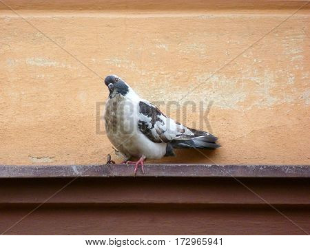 Photo of a black and white pigeon sitting on a ledge