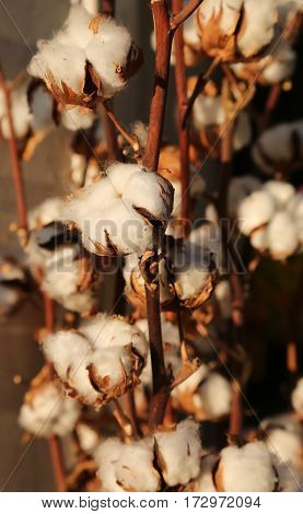 Many Boll Of White Cotton In The Intensive Cultivation Of Cotton