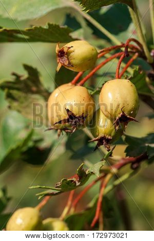 Hawthorn. Crataegus monogyna . Close-up view of fruit in the summer