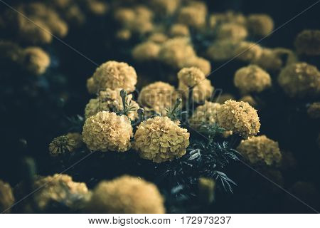 Image of yellow flowers in a garden.