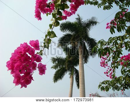 Concept paradise pleasure. Branches of beautiful vivid bougainvillea, palm tree, blue sky