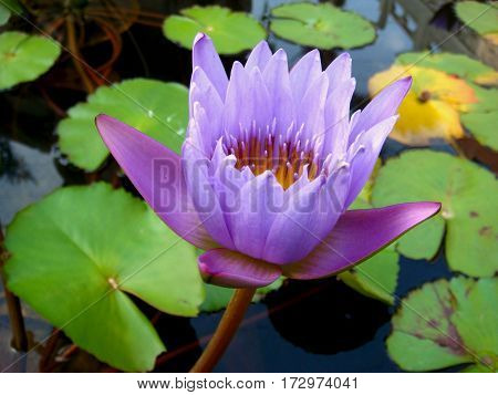 Close-up tropical beautiful violet waterlily, lotus flower, nature background.