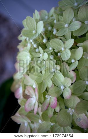 Little Lime Hydrangea with pink petals detail