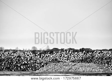 Rows of cut and stacked logs ready to be processed under an overcast sky in black and white