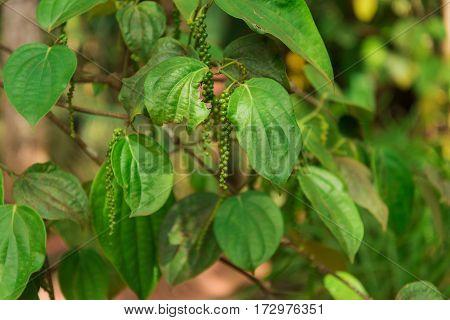 Closeup green pepper plant on the tree. Garden spice in Srilanka.