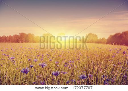 Summer field with blue cornflowers at sunset in vintage style.