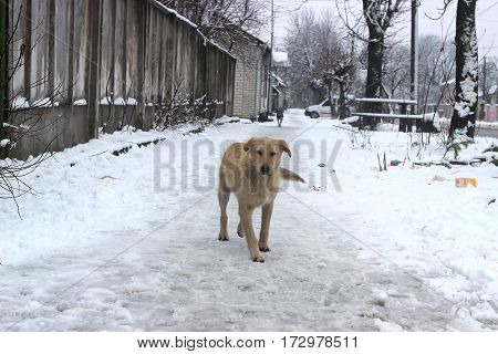Stray dogs in the street walks around