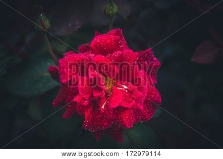 Image of an isolated red flower after the rain.