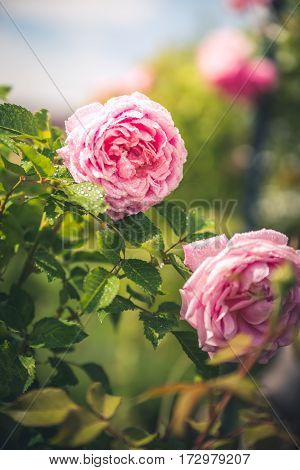 Image of an isolated pink rose in a garden.