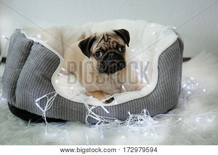 Pug dog playing with garland in pet bed