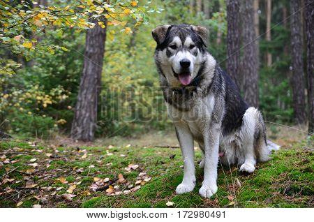 A big malamute dog sitting in forest