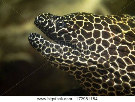 Laced moray eel (Gymnothorax favagineus) with mouth open. Fish also known as the leopard moray tessellate moray or honeycomb moray in the family Muraenidae showing sharp teeth