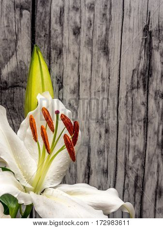 Easter lily with copy space, weathered wood background