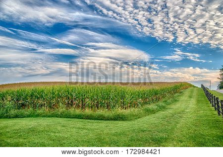 Cornfield in Late Summer Under Blue Sky with clouds.
