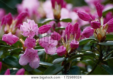 Red flower and green leaves, Rhododendron, Azalea