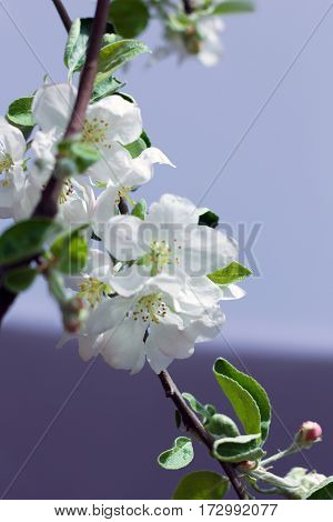 white blossom spring-flowers as a background. View with shallow depth of field
