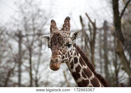 Head of an adult giraffe close-up. Giraffe in the zoo aviary.
