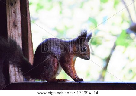 Red Squirrel sitting in a hide, Isle of Wight