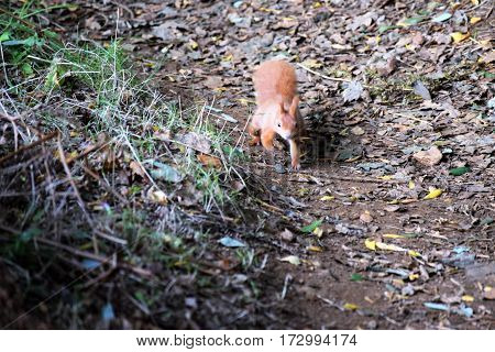 Red Squirrel running on a trail, Isle of Wight