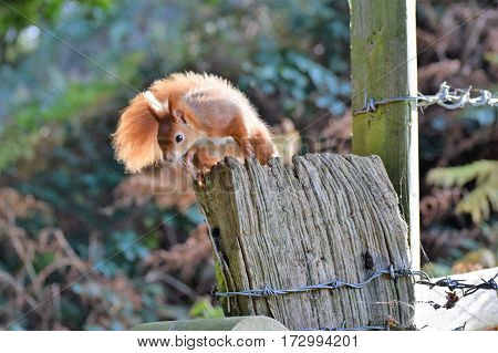 Red Squirrel sitting on a fence, Isle of Wight