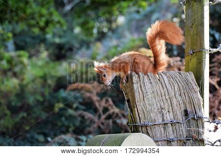 Red Squirrel on a fence, Isle of Wight
