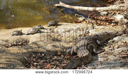 Turtles and crocodile basking in the sun