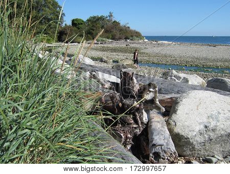 Pacific Northwest Beach with logs and beachcomber
