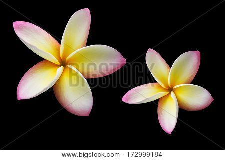 Isolated Pink Yellow  Flower Frangipani Or Plumeria Bunch On Black Background